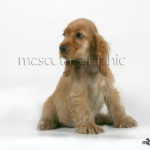 Cocker Spaniel Inglés cahorro - English Spaniel Cocker puppy