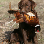 Labrador Retriever chocolate cobrando un faisán - Chocolate  Labrador Retriever  bagging a pheasant