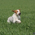 Pointer corriendo en el trigo - Pointer running in the wheat