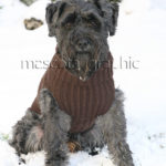 Schnauzer mediano negro en la nieve - Black medium-size Schnauzer in the snow