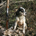 Setter Inglés con becadas y escopeta - English Setter with woodcocks and shotgun