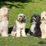 Terrier Tibetano grupo - Tibetan Terrier  in group